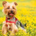 Mi perro Yorkshire terrier ladra mucho,