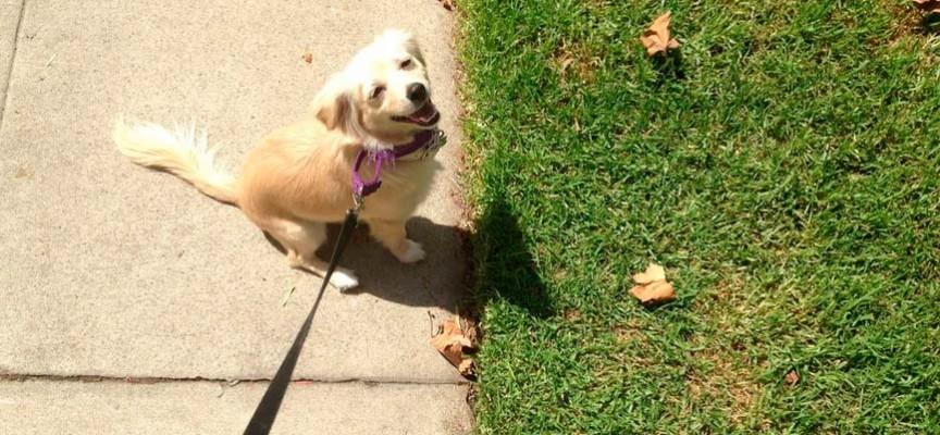 Mi perro no quiere pasear porque es muy cachorro