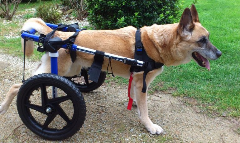 Mielopatia degenerativa en perros