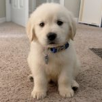 Parvovirus en cachorros