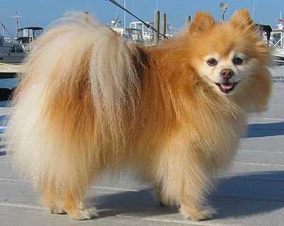 Qué cuidados necesita un perro de raza spitz alemán