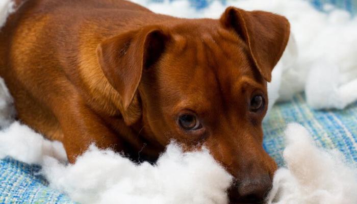 Qué es el hiperapego en perros
