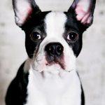Razas de perros ideales para pisos Boston terrier