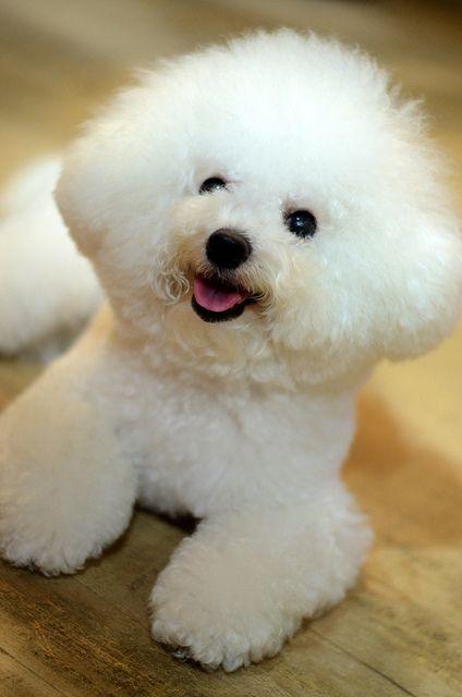 Razas de perros ideales para pisos Bichon frise