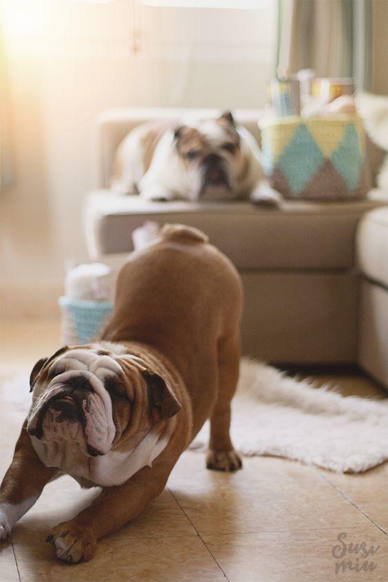 Razas de perros ideales para pisos bulldog ingles