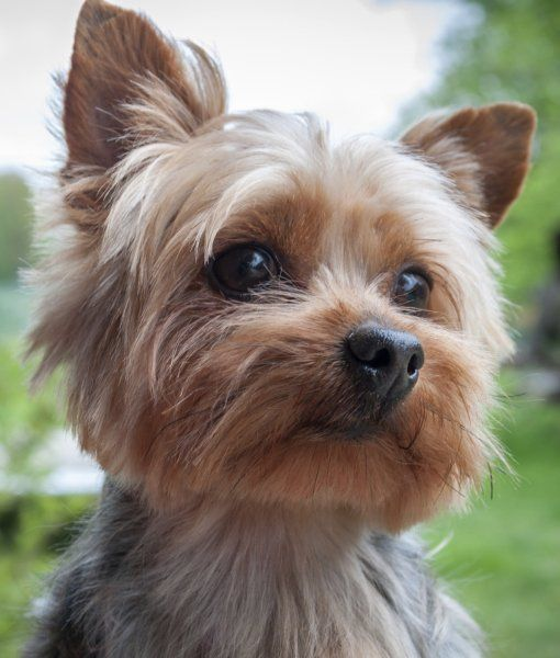 Razas de perros ideales para pisos yorkshire terrier