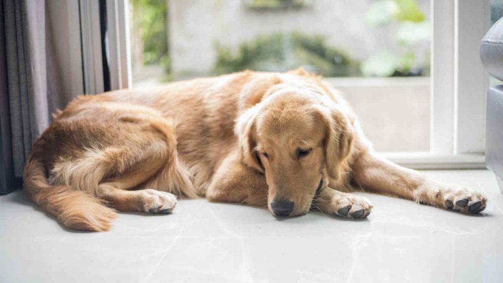 Síntomas de la enfermedad de Addison en perros