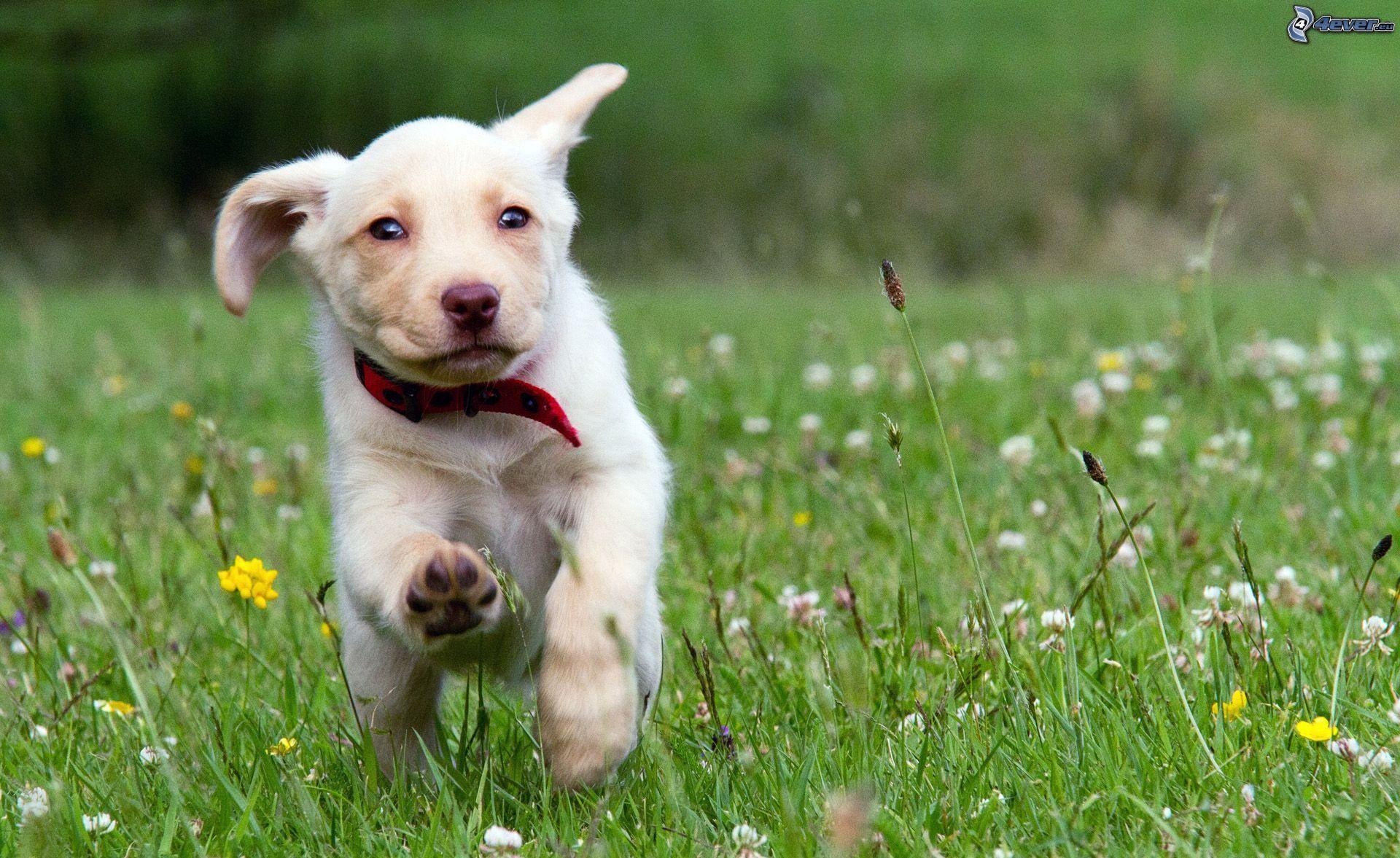 Síntomas del síndrome de Pelger Huet en perros