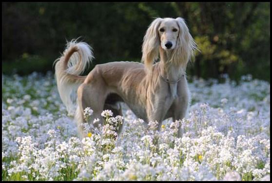 Salud del perro galgo saluki