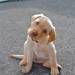 Sordera en perros o sordera canina