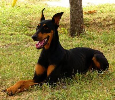 Temperamento del perro doberman pinscher