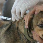 Tratamiento de la rabia canina