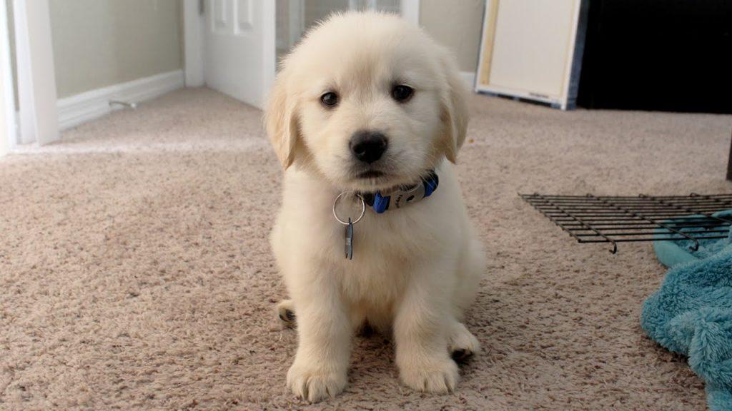 Tratamiento del parvovirus canino en casa