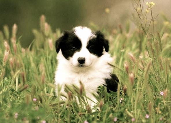 Tratamiento del shock anafiláctico en perros