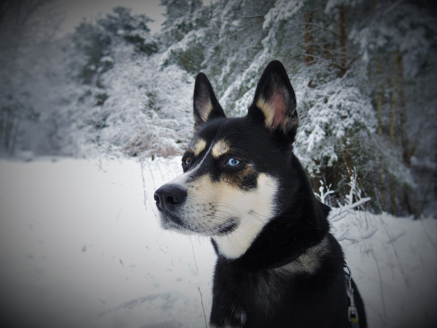 Ventajas y desventajas de los Husky Siberiano
