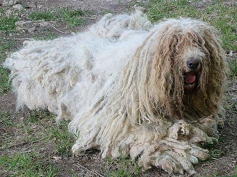 Aspecto de los perros de raza komondor