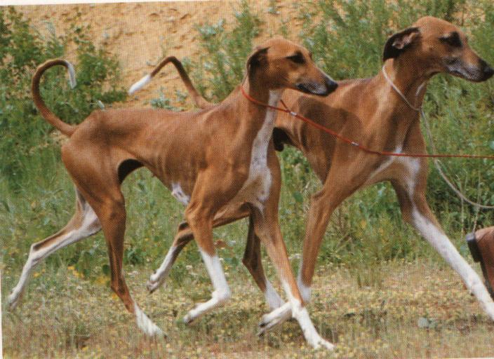 Características físicas del perro azawakh