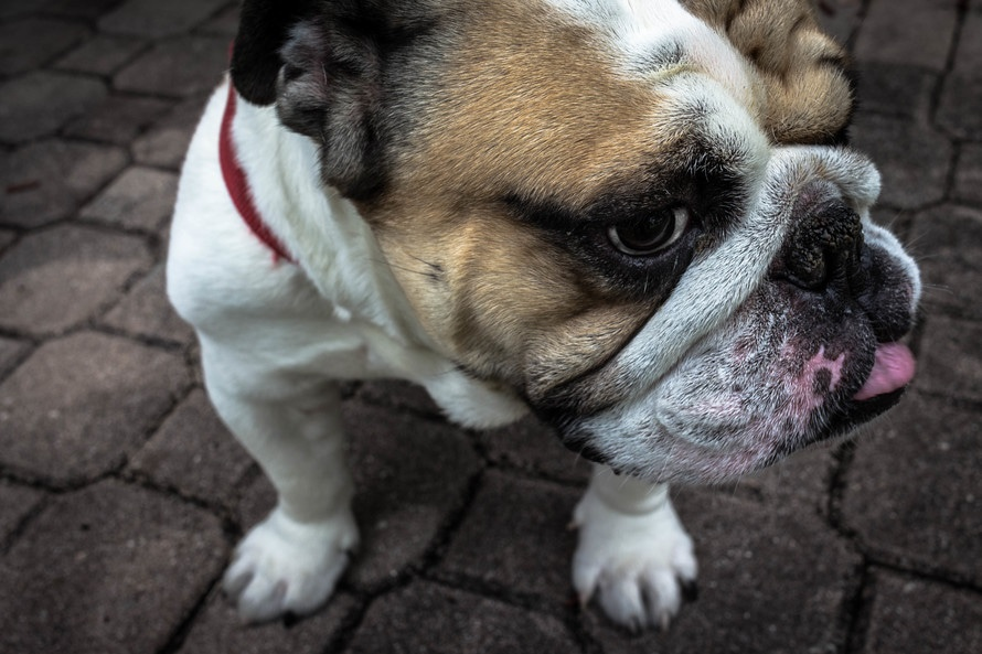 Bulldog inglés, otro de los perros arrugados más conocidos