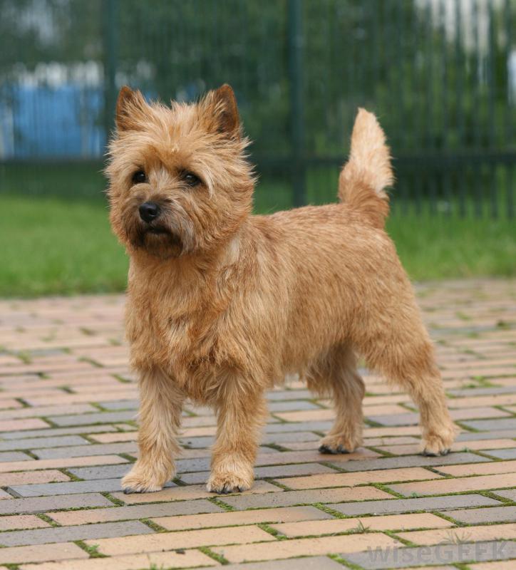 Cómo es el perro cairn terrier