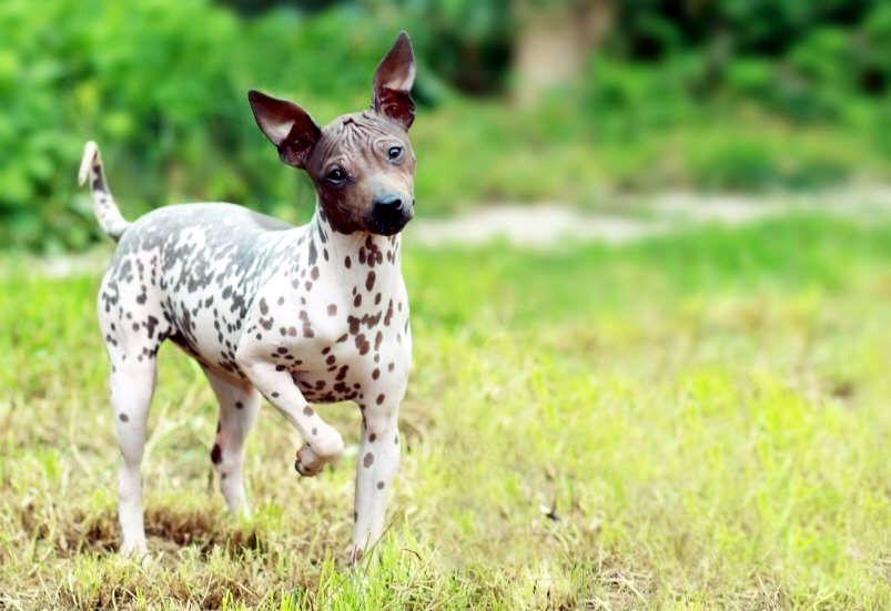 Carácter de la raza de perro terrier americano sin pelo