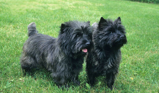 Carácter de los perros de la raza cairn terrier