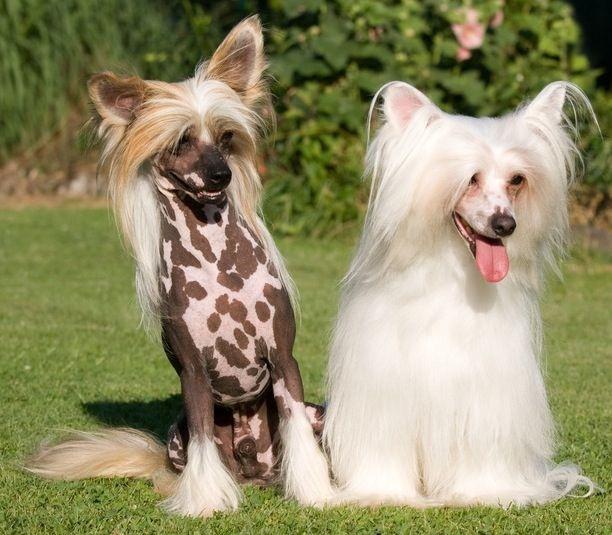 Carácter de los perros de raza crestado chino