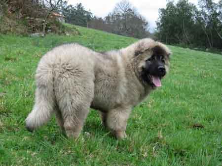 Carácter de los perros Pastores del Cáucaso