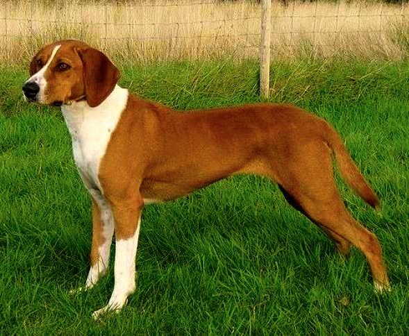 Carácter de los perros sabuesos de Hygen