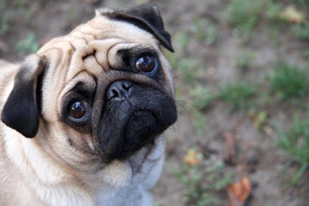 Carácter del perro de raza carlino o pug