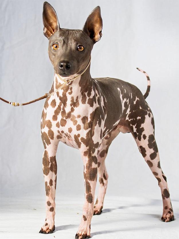 Características de la raza de perro terrier americano sin pelo