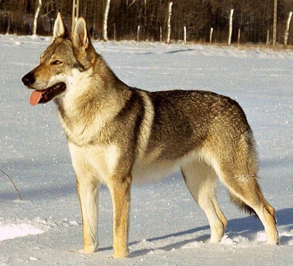 Características de la raza del perro lobo checoslovaco