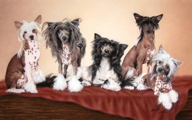 Características de los perros de la raza crestado chino