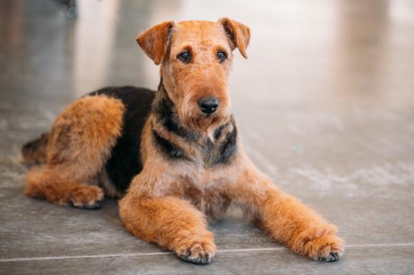 Características del Airedale Terrier