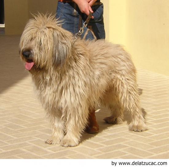 Características del perro pastor catalán
