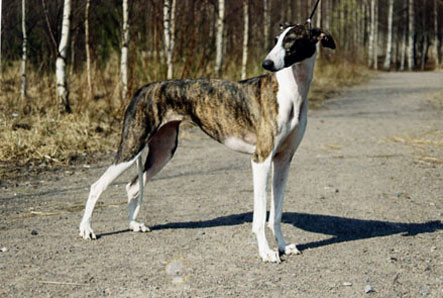 características físicas de los perros de la raza galgo anglo-español