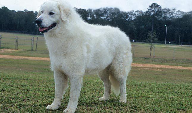Características físicas de los perros de raza kuvasz