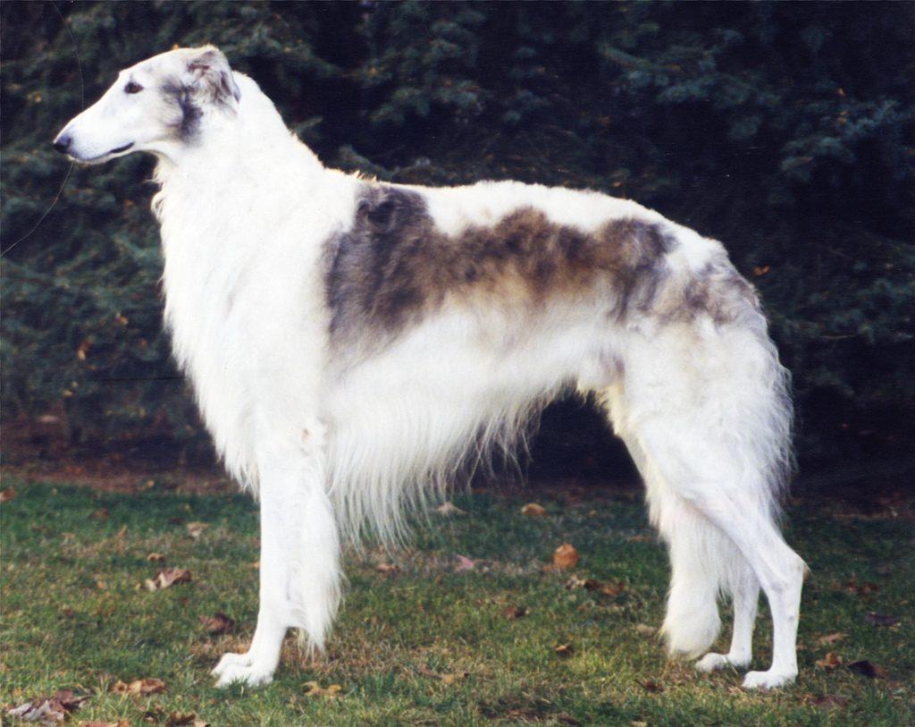 Características físicas del perro de raza borzoi