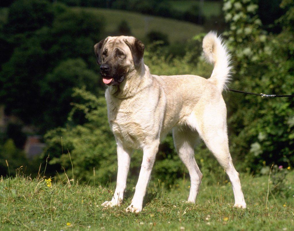 Características físicas del perro pastor de Anatolia