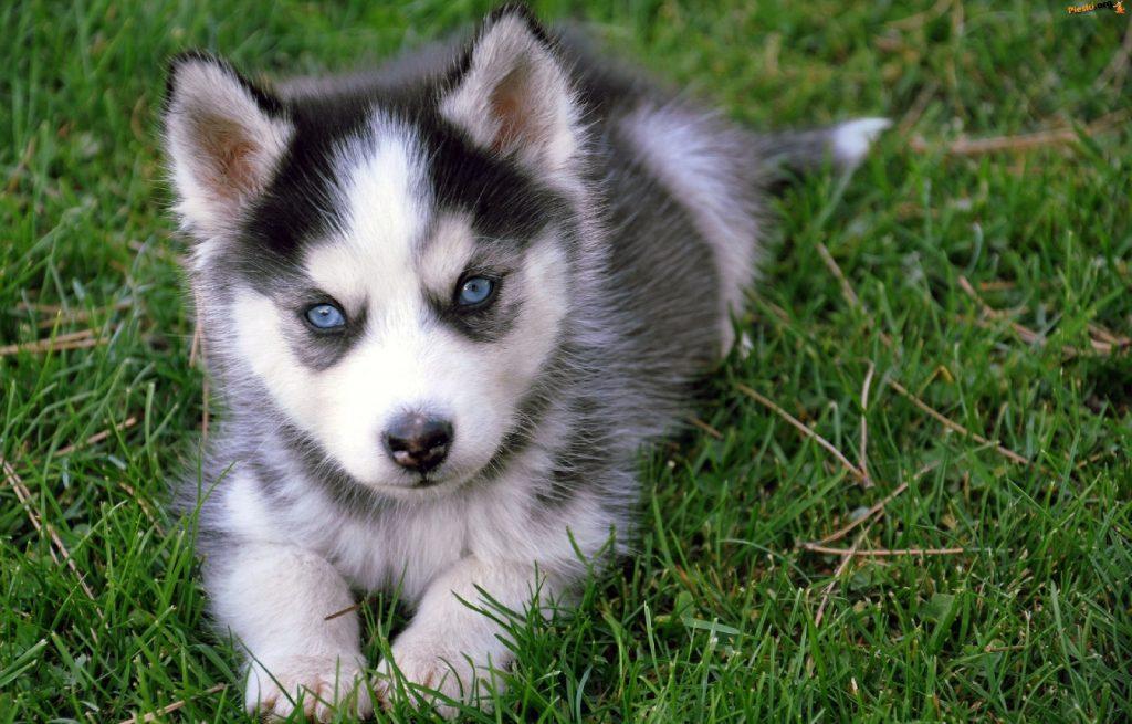 características tiene la raza de perro pomsky