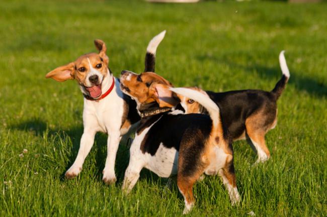 causas por las que los perros mueven la cola