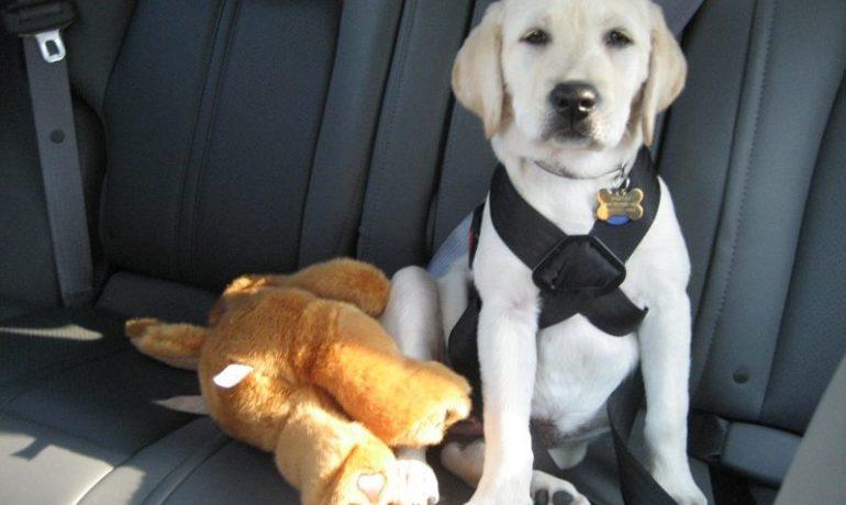 Resultado de imagen de Cinturones de seguridad para perros