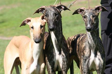 Cómo cuidar a los perros de la raza galgo anglo-español