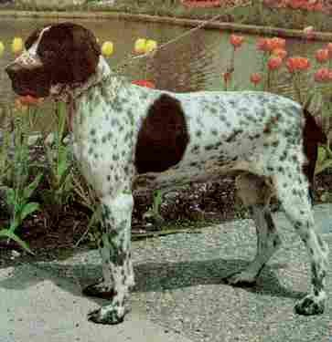 Cómo es el carácter del perro braco de Auvernia