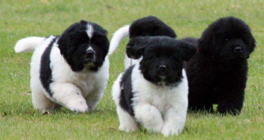 Cómo es el comportamiento de los perros landseer