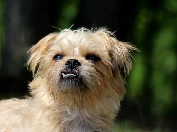 Cómo es el comportamiento del perro grifón de Bruselas