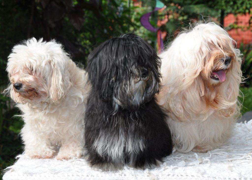 Cómo reconocer a un perro bichón habanero