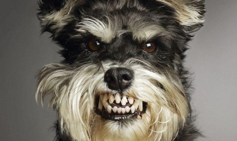 como saber si un perro tiene rabia
