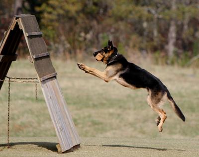 Cómo se desarrolla el entrenamiento schutzhund