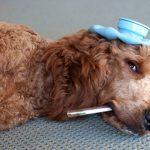 Como tomar la temperatura a un perro