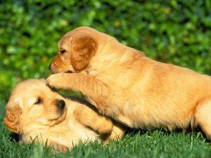 cruzar perros hermanos